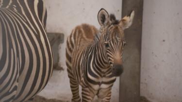 Pasgeboren zebra