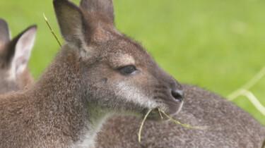 Pasgeboren wallaby