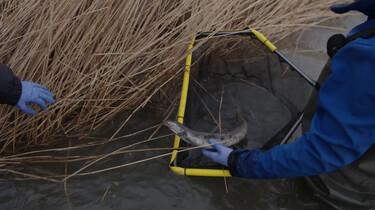 Sterft de paling uit?: Palingen tellen met Manon