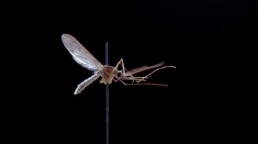 Dragen Nederlandse muggen het westnijlvirus bij zich?: Wetenschappelijk onderzoek naar steekmuggen