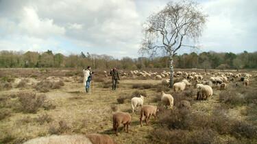 Wat is het nut van schapen?