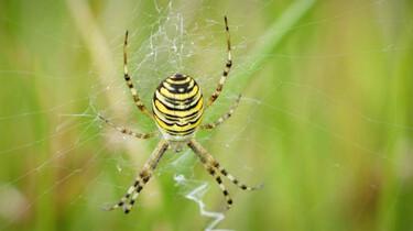 Exotische spinnen in Nederland door klimaatverandering: Minder kruisspinnen, meer nieuwe spinnensoorten