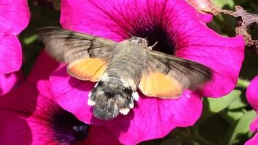 De kolibrievlinder