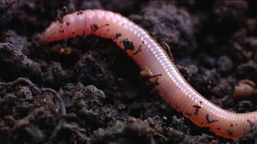 De regenworm