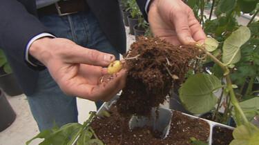 Hoe teel je een nieuwe aardappelsoort?