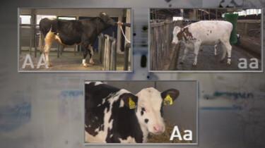 Hoe fok je een zwartbonte koe?