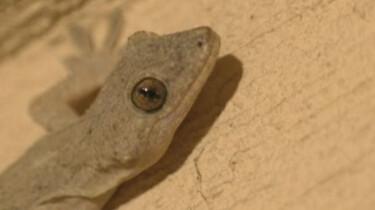 De gekko