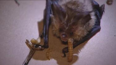 De vleermuis