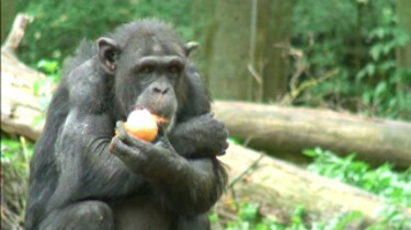 Communicatie bij de chimpansee