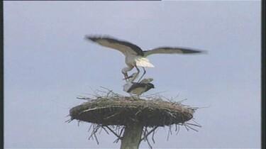 Paarvorming bij vogels