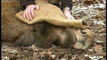 Erik de eland wordt verdoofd