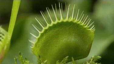 De vleesetende plant