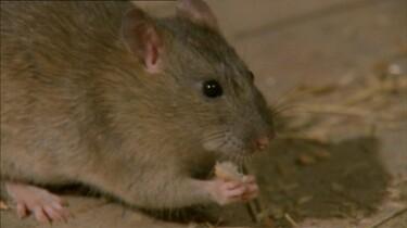 Een rattenfamilie