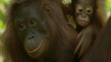 De Orang-oetan