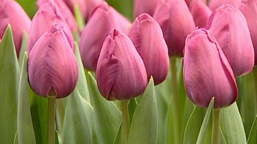 Tulpen in een kas