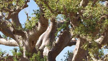 De Baobab boom