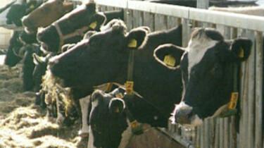 Koeien staan 's winters op stal