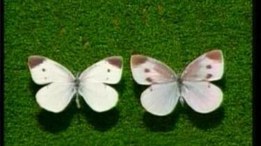 Vlinders zien ultraviolet licht