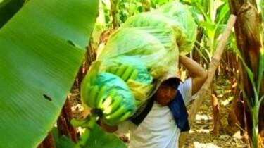 Bananen verbouwen