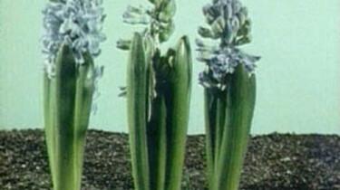De hyacint