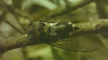 Het leven van de cicade