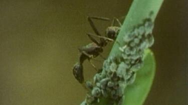 Mieren en bladluizen