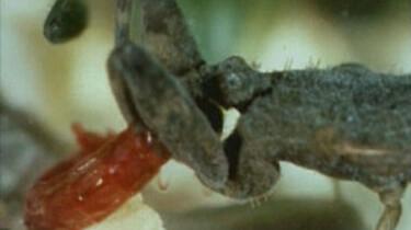 Waterschorpioen op jacht