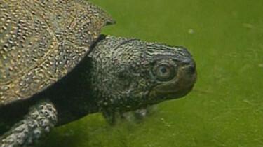 Etende moerasschildpad
