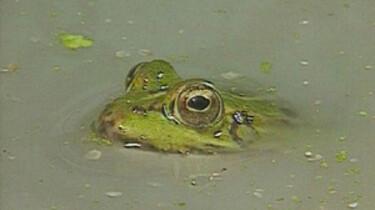 Een zwemmende kikker