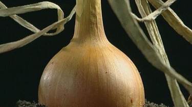 Hoe groeien uien?