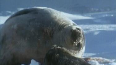 Geboorte van een zeehond