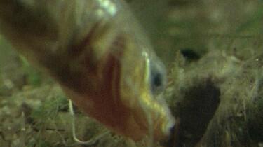 Stekelbaars bouwt een nest