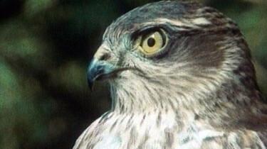 Havik jaagt op vogels