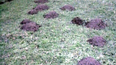 Een gravende mol