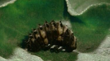 Van larve tot lieveheersbeestje