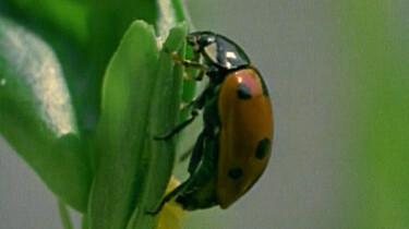 Het lieveheersbeestje