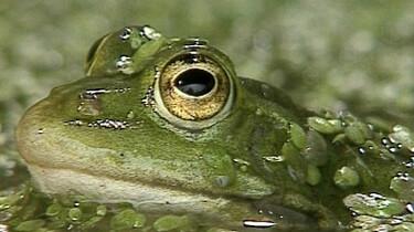 Voortplanting van de groene kikker