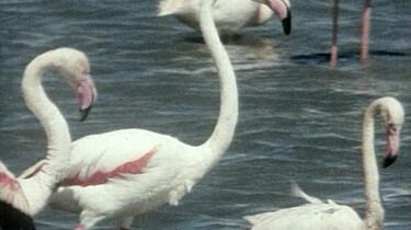 Het paren van een flamingo