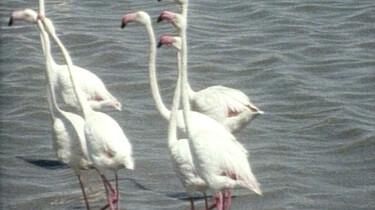 Voortplanting van de flamingo