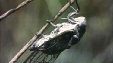 De cicade