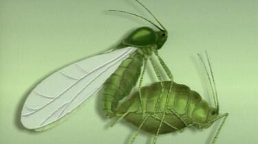 Voortplanting van een bladluis