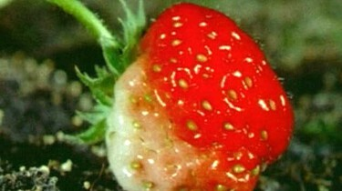 Hoe groeien aardbeien?