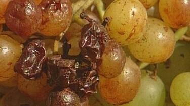 Van druif tot rozijn