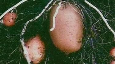 De aardappel