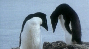 Parende pinguïns