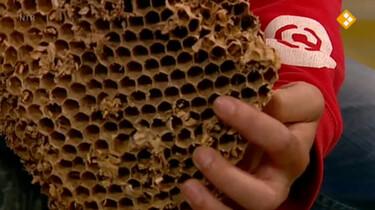 Nieuws uit de natuur: Wespen