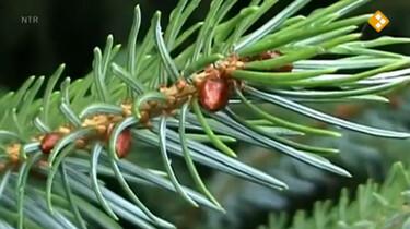 Nieuws uit de natuur: O, dennenboom