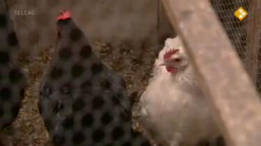 Nieuws uit de natuur: Kippen en eieren