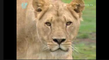 Nieuws uit de natuur: De leeuw is los!