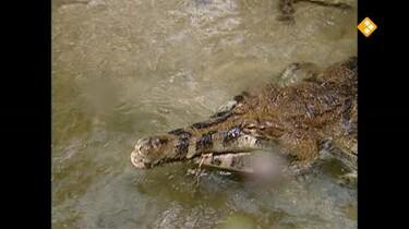 Het Klokhuis: Krokodil